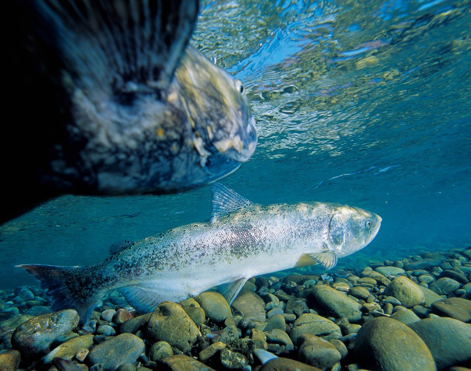 A female quinnat salmon noses slowly through the shallows, look- ing for a place to lay her eggs, while a male shadows her, eager for the chance to fertilise the precious cargo. In a good year, as many as 75,000 salmon make their way from the sea to their birth streams in the high country to breed. But they face many obstacles and hazards: trawl-netters at sea, dams in the rivers, reduced water flows due to irrigation take-off and, of course, legions of fanatical anglers tracking their every move.