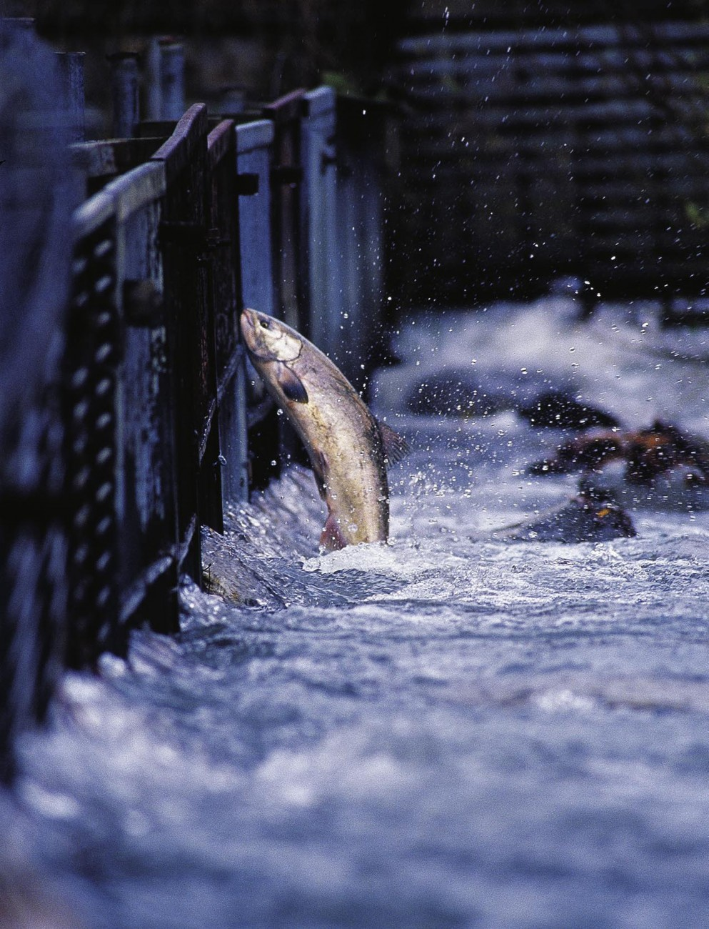 A leaping salmon is one of nature's most enduring icons. At a fish trap on the Glenariffe Stream, a tributary of the upper Rakaia, migrating salmon are weighed and measured to enable scientists to assess the size and age structure of the quinnat population. Once the data have been collected, the fish are released to continue their upstream journey.