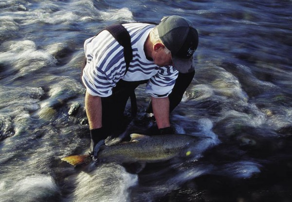 Fish and Game volunteer Trevor Keeley releases a salmon which has been tagged (the yellow spot on the gill cover) as part of a study into how long spawning fish survive in streams.
