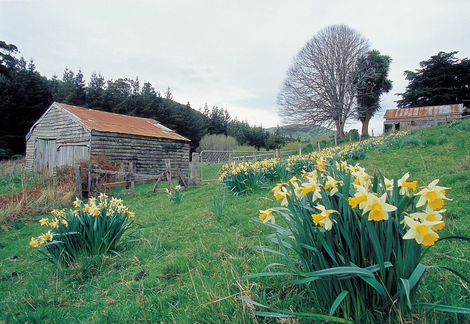 "Throughout the Catlins, soggy paddocks blaze with daffodils during the first flush of spring. Planting daffodil bulbs was a tradition on older New Zealand farms, and in the Catlins traditions linger. John and Ida Burgess farm sheep, cattle and deer on their Tarara Downs property, near Owaka. ""We're pretty old and conventional,"" says John. ""We fatten stock, we grow turnips and we use horses to drive mobs of cattle from one block to another."" Farming started in the Catlins in the 1850s, in the form of small milking herds established on plots cleared from the bush. The earliest farm cottages had tree-fern walls and roofs of tussock thatch."