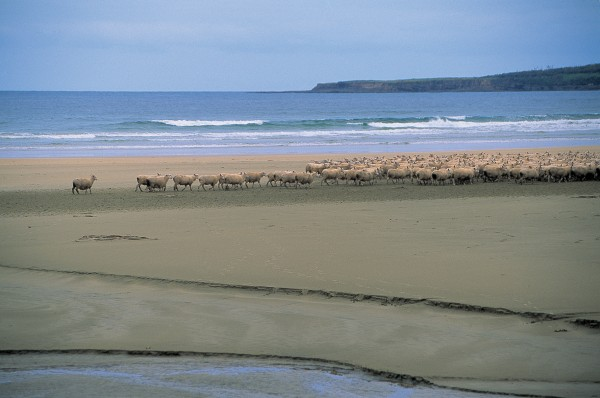 On the sandy beaches that stretch between the district's rugged headlands animals regularly outnumber humans—although a farmer is behind this flock of sheep taking a short cut along Tautuku Bay.