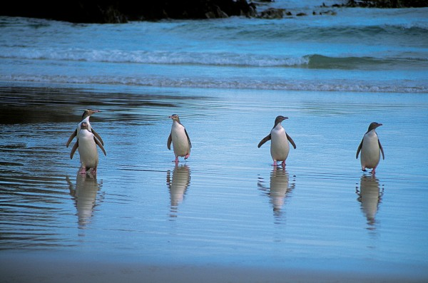 Yellow-eyed penguins come ashore every evening to spend the night in dens under vegetation. Several hundred of this uncommon species live along the Catlins coast.