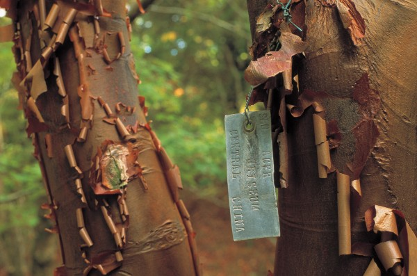 During his evenings, Cook punched out lead identification tags, many of which still remain attached to their trees - such as this Acer griseum, a Chinese paperbark maple.