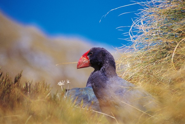 Takahe—once widespread but now naturally occurring only in Fiordland's Murchison Mountains—depend on tussock as the staple in their high-fibre diets. Males even ritually offer morsels plucked from the basal growing part of the leaf to their mates. The many metres of droppings the birds produce each day attest to the low nutritive value of tussock.