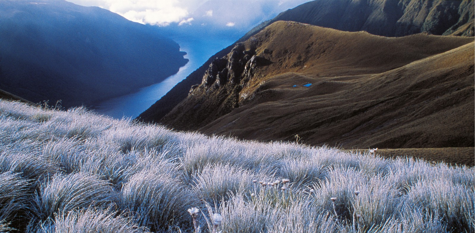 The wet and windswept mountains of Fiordland are home to 10 species of tall tussocks—members of the genus Chionochloa—including C. teretifolia, seen here above Lake Monowai. No other region of the country hosts such a diversity of varieties.