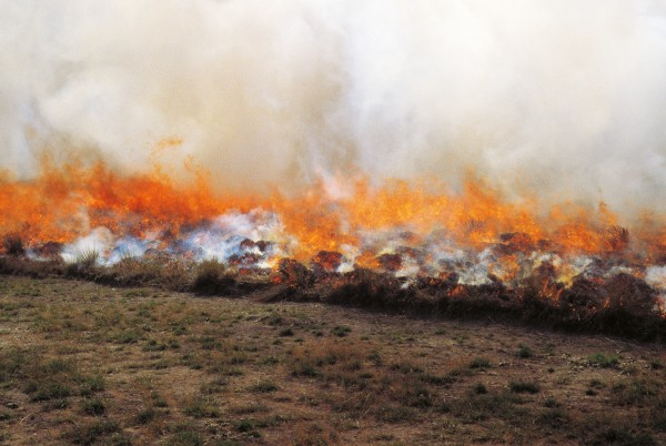Scientists deliberately fire plots of tussock to understand better the effects burning has on grassland ecosystems. Although temperatures may briefly reach over 1000° C during the fires, most tussocks survive.