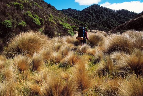Human modification of New Zealand's vegetation began when Maori found—like this tramper in the Kaweka Range of the central North Island—that tussock was easier to get through than bush. Firing the bush in drier areas produced a regrowth of tussock. Yet regardless of how we came by the tussock lands, we've become enamoured of the streaming tresses of bronze, the sibilant rustle of tussock leaves, that whiff of hay, the endless vistas of gold. Without tussock, no journey in the hills would be complete.