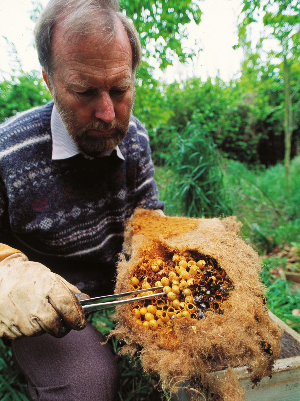 "The honeybee's decline creates an opening in the ""pollination market"" for other insects. However, honeybees leave big shoes to fill. The average honeybee hive contains some 80,000 bees, while bumblebee colonies, such as this one being inspected by Canterbury entomologist Barry Donovan, holds at best 100 bees."
