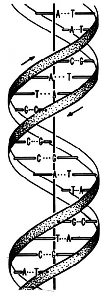 The first clues to the structure of the DNA molecule were provided by X-ray crystallography of herring and ram sperm DNA, but purer DNA preparations later gave better images.