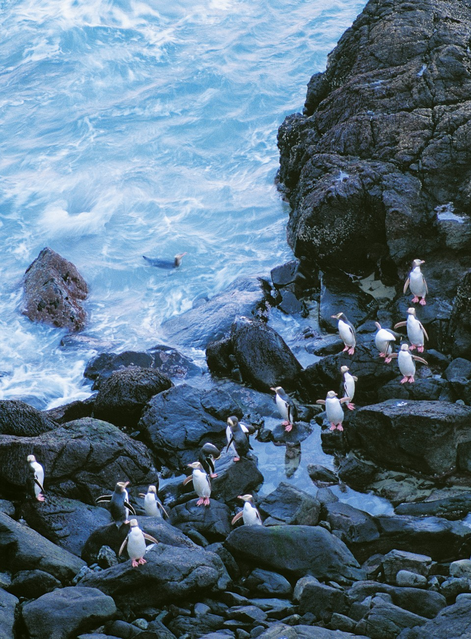 The peninsula's mosaic of rocky headlands and open sandy bays makes it favoured penguin territory, as shown by the group opposite—a large gathering by hoiho standards.