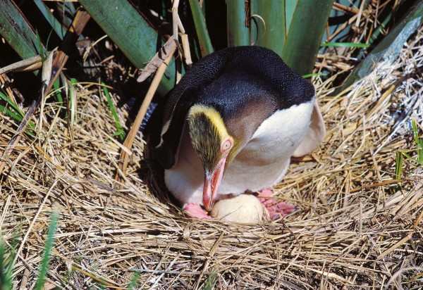 Breeding females usually lay two eggs in spring, and incubate them for between 39 and 51 days. Newly hatched chicks are small, weak and sightless, and it is almost four months before they are ready to take to the sea—an unusually long development phase compared with that of most coastal birds.