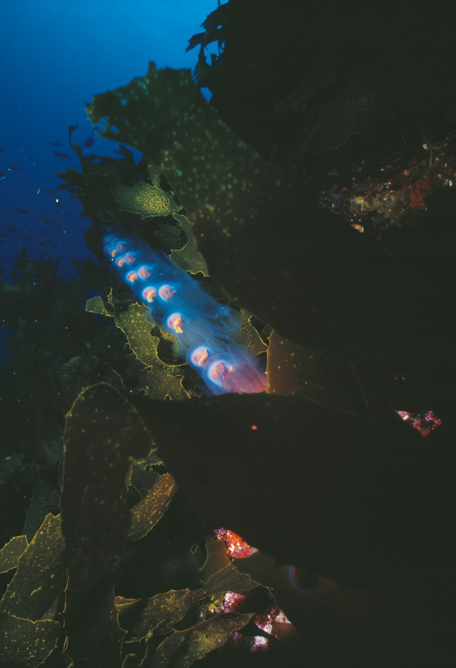 Salps consist of a partially see-through body within a tough plasticy transparent case (test), and individuals are often linked together, as seen here. Although they appear to be very primitive organisms, salps are classified as chordates—making them members of the phylum to which we belong.