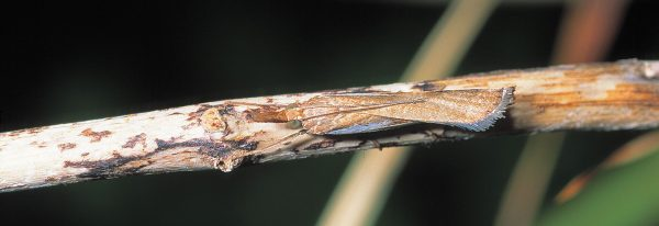 To avoid the all-too-common fate of becoming someone's meal or birthing chamber, many a denizen of the insect world resorts to camouflage. The common grass moth (Orocrambus flexuosellus) tightly folds its wings when resting, allowing it to blend with stems and dead twigs, whereas a row of planthoppers (bottom) appears like thorns or budding leaves.