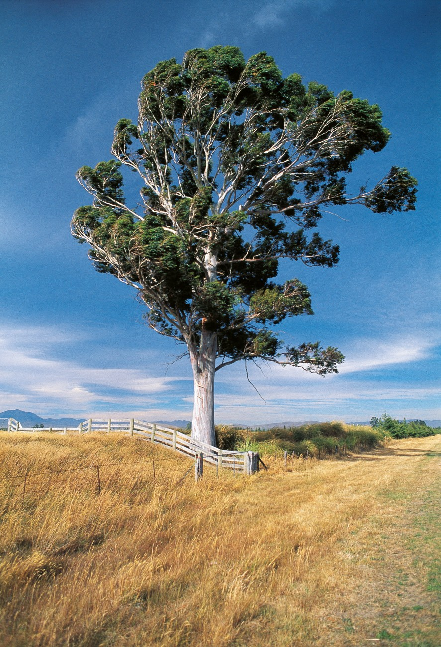 Even large well-established trees, such as this eucalypt near Waiau, take a battering when the nor'wester is in full cry.