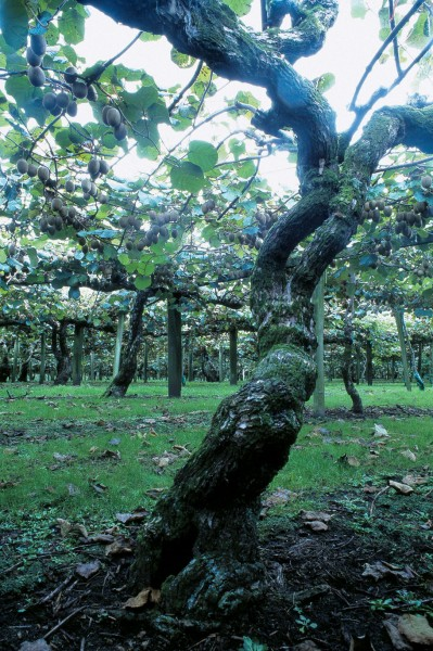 Kiwifruit vines are both vigorous and long-lived and some of the first vines to be planted in the Bay of Plenty are still prolific after 50 years.
