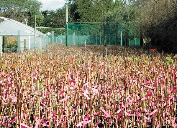 In HortResearch's Te Puke orchard, 7000 one-year-old seedlings await planting. Breeding is a numbers game and each year thousands of new seedlings are planted while thousands of less successful plants are removed. The object is to develop new and profitable cultivars with better flavours and improved characteristics. Pink tags indentify the family of each plant.