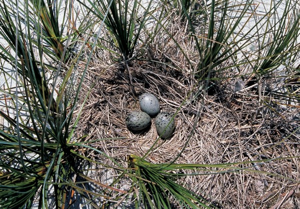 Nests are fairly basic and the eggs hatch after a 27-day incubation, usually in November or December.