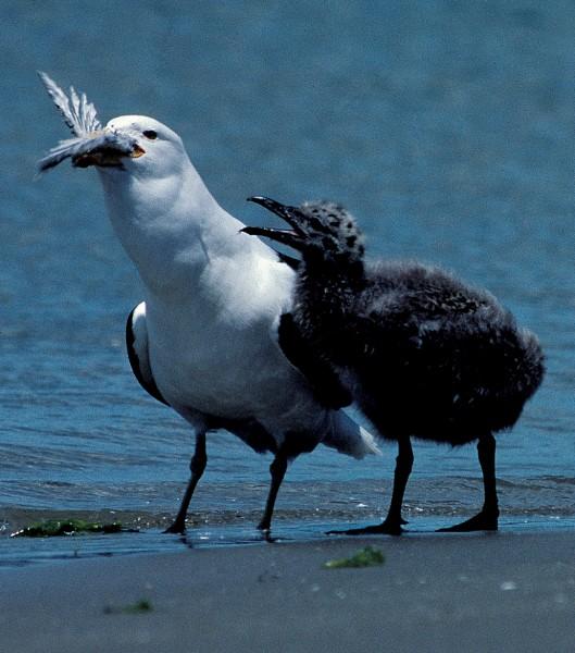 73_Gulls_11