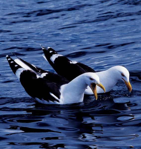 73_Gulls_18