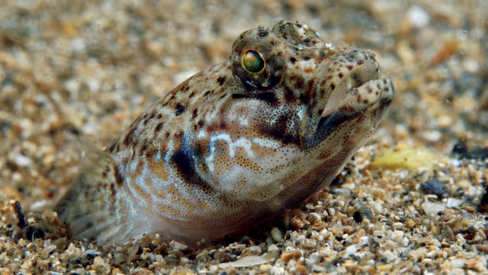 Inconspicuousness improves longevity and also one's chances of capturing a feed. The exquisite goby (seen here), a non-native species that has established in New Zealand, is well-camouflaged against the sand it hides in, while a cling fish wears the same mossy hues as the old shell in which it nestles.