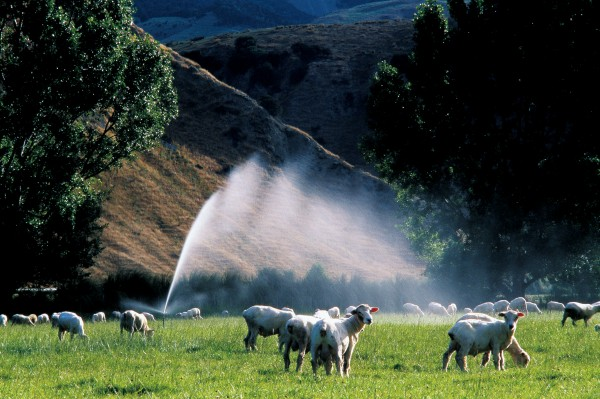 Farms near the mouth of the Clarence—such as Derrick and Jane Millton's Waipapa Station—take advantage of the water fl owing past their boundaries to irrigate riverside pasture during the dry Marlborough summer.
