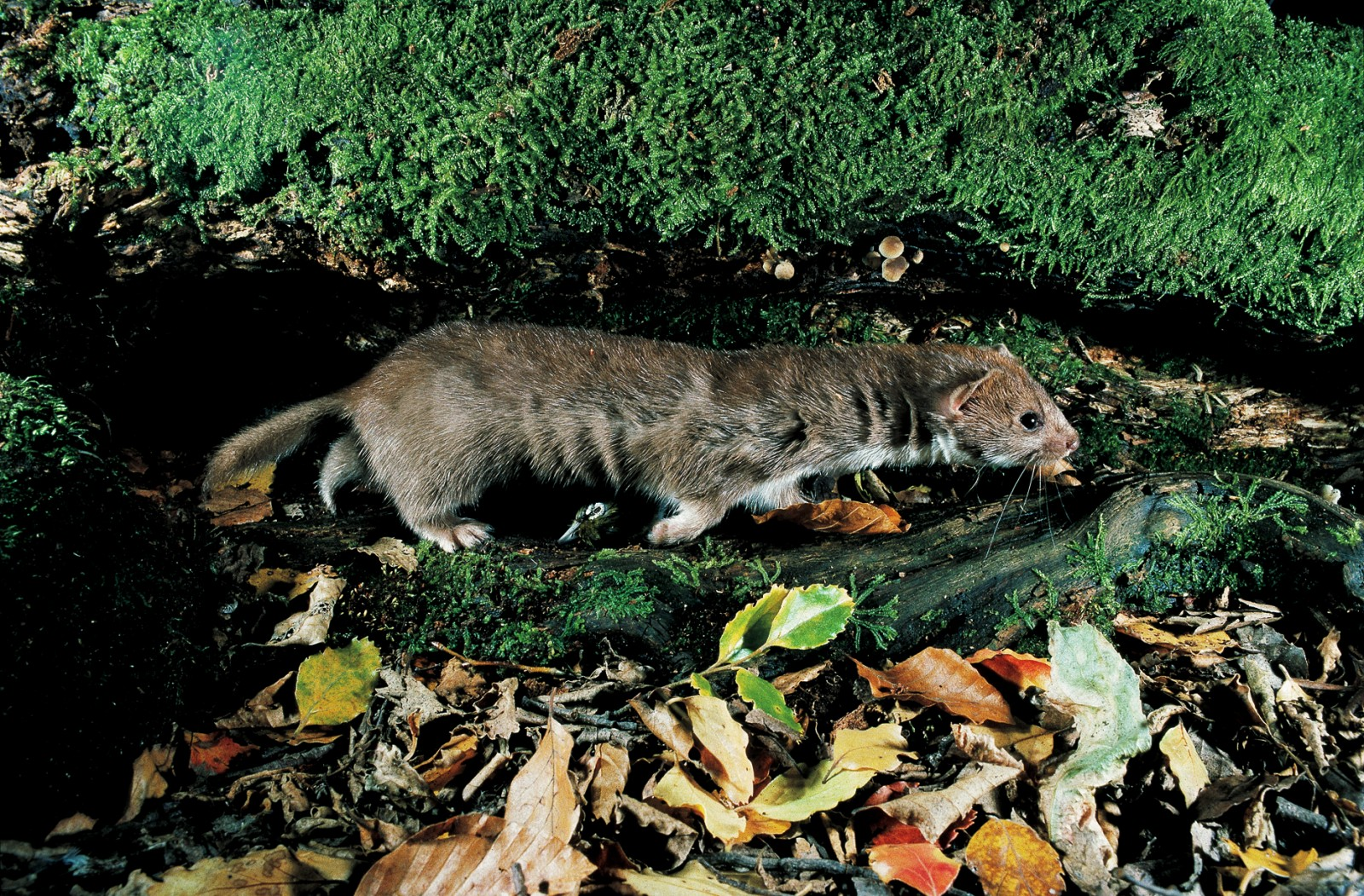 Weasels are shorter than stoats, weigh only a third as much, and have shorter tails.