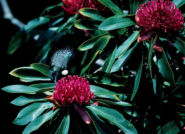 The tui is sipping nectar froma waratah.