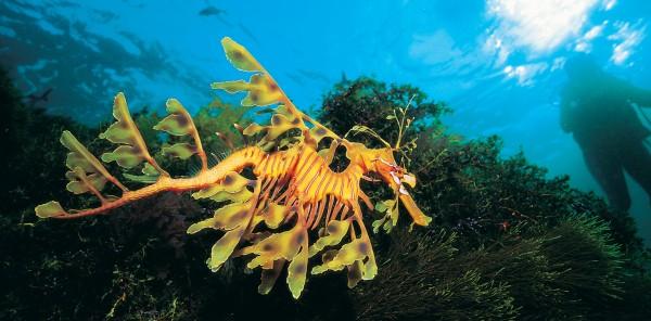 Chordata: Phycodurus eques (leafy sea dragon)