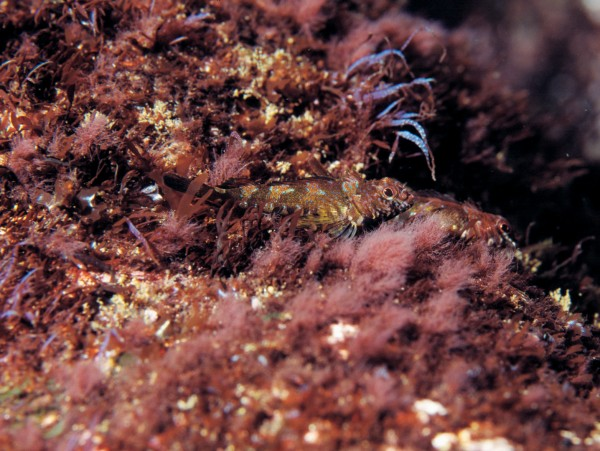 The cryptic triplefin is another infrequently seen species, because it is so hard to spot against the red algae it inhabits.