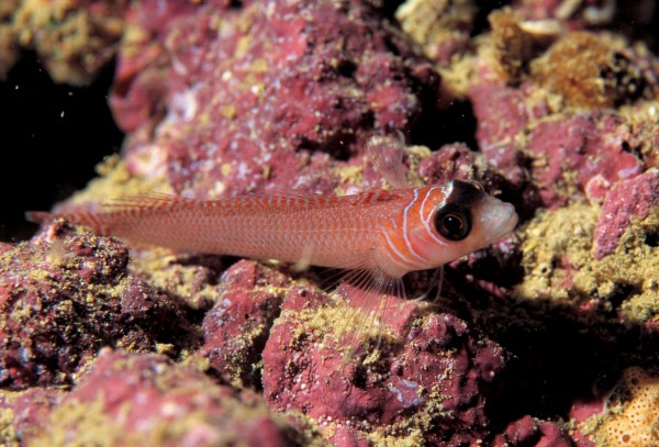 The spectacled triplefin is currently considered an ecomorph of the larger, long-finned triplefin, however recent genetic work shows that the two are distinct species.
