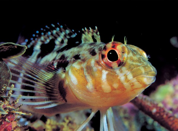 Tentacles, above the right eye in the banded triplefin, may play a role in species recognition.