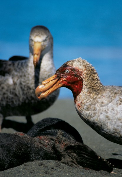 "Giant petrels are known as the ""vultures of the Antarctic"". They make short work of dead seals and penguins, gorging themselves until they are too heavy to fly. They also eat fish and squid."