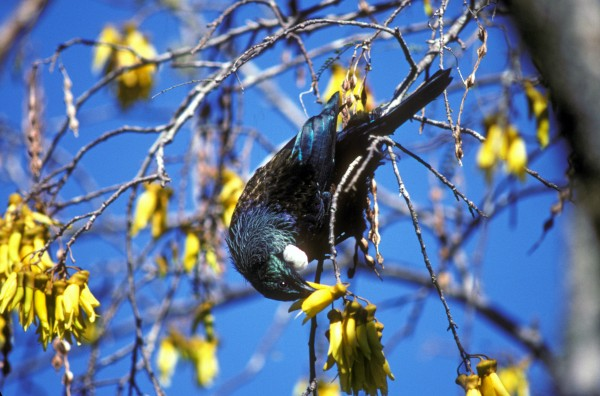 For nectar-loving birds, such as tui, bellbird and kaka, kowhai is a major food source each spring. The flowers typically appear before the leaves.