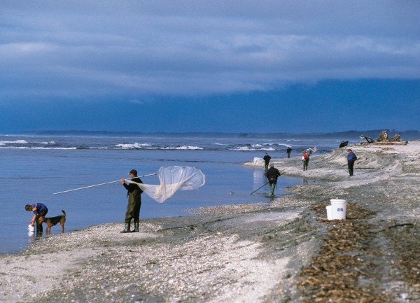 Spring brings whitebaiters in their hundreds to the Haast coast—a far cry from the 1930s where each man expected a decent river to himself. Local Des Nolan once caught 130 kerosene tins (each holding 15+ litres) of the tiny fish in a day on the Waiatoto.