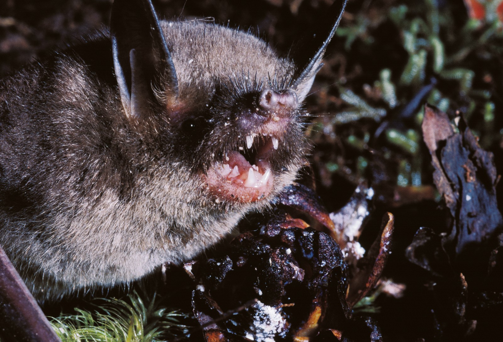 You'd be screaming too if you were this ugly and infested with batflies. New Zealand's short-tailed bat evolved in isolation from the rest of the world's bat community. With only birds, lizards and weta as competing megafauna, the short-tailed bat aquired some unusual habits, including a propensity to forage on the forest floor like a mouse. With the arrival of rats and other better equipped mammals and the deforestation of much of New Zealand, this unlikely bat is now rare.