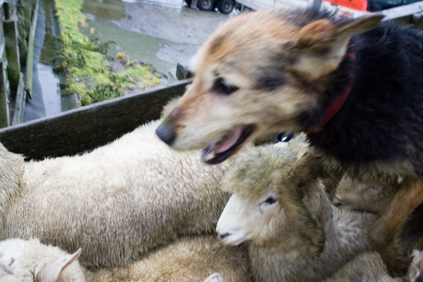 Dogs are indispensable for shifting stock around farms and saleyards, moving more quickly and directly, than their human masters can.