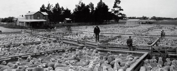 This photo of the Feilding saleyards in 1902 shows part of a yarding of 45,000 sheep, a North Island record at the time that helped establish Feilding as the major livestock trading centre in the lower North Island. While the yarding may look like a homogeneous sea of off-white--apart from the odd black sheep--a dozen types of wool will be represented, some of the sheep will be less than a year old, others up to six or seven with their teeth worn down to stubs, some will be ready for slaughter, others too thin. It's up to buyers to establish what they are purchasing.
