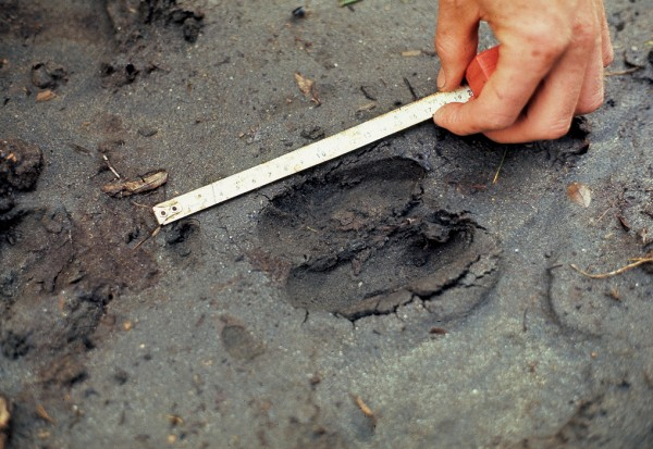 Many signs of moose have been found, including footprints larger than those made by red deer and with clear imprints of the dew claws. In the moose's foot (top), these claws are set much lower than in the red deer (bottom).