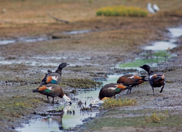 Among the first birds to take to the new mudflats were paradise shelducks—ironically, a species which commonly feeds on pasture grasses.