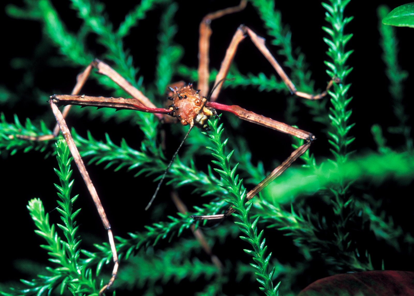 Stick insects are entirely vegetarian; however, some species are quite restricted in the range of plants they can eat, while others, such as the Acanthoxyla shown here, devour a broad range.