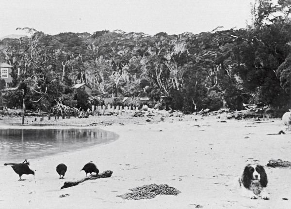 In this photo taken by Henry, weka feed on the beach below his house. In the nearby bush (opposite), he built pens for kakapo awaiting shipment to to collectors, the piles of which are still visible today.