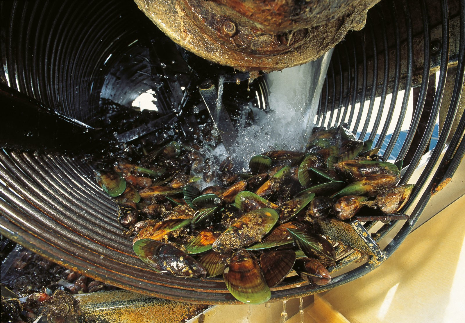 High pressure water jets are used to clean encrusting organisms from freshly-harvested mussels.