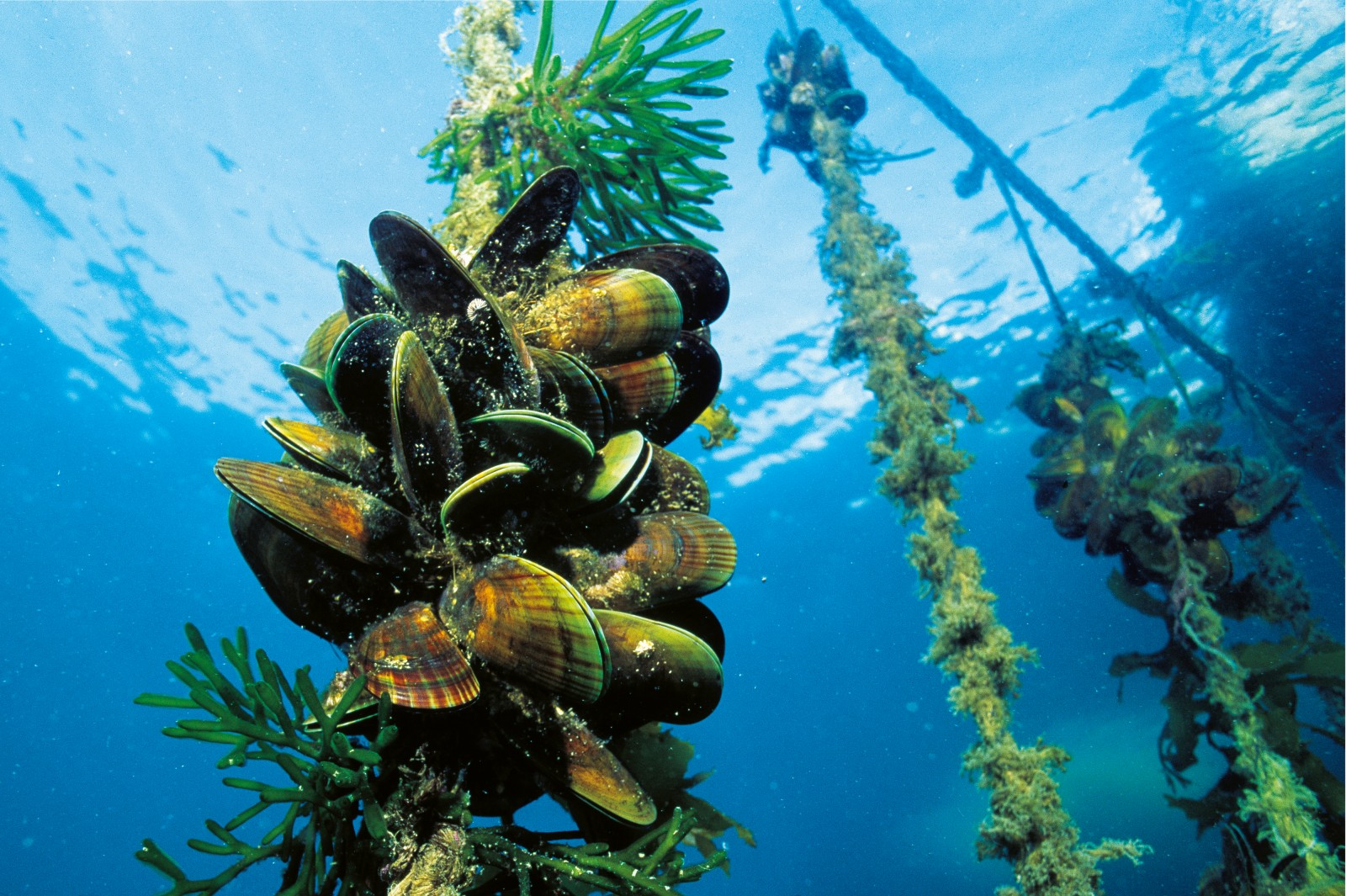 Mussels are grown attached to ropes in clean open water with a good tidal flow. Supreme water quality is important, because the bivalves will filter out and accumulate any particulate contaminants, such as algae from toxic blooms or bacteria and viruses washed from nearby land.