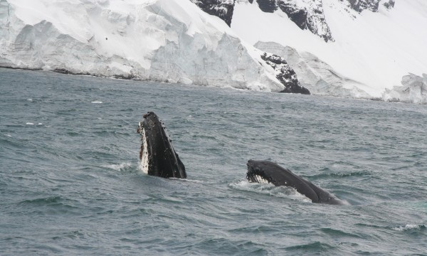 Feeding humpback whales were abundant around the islands, and a few Weddell seals were seen but no other mammals.