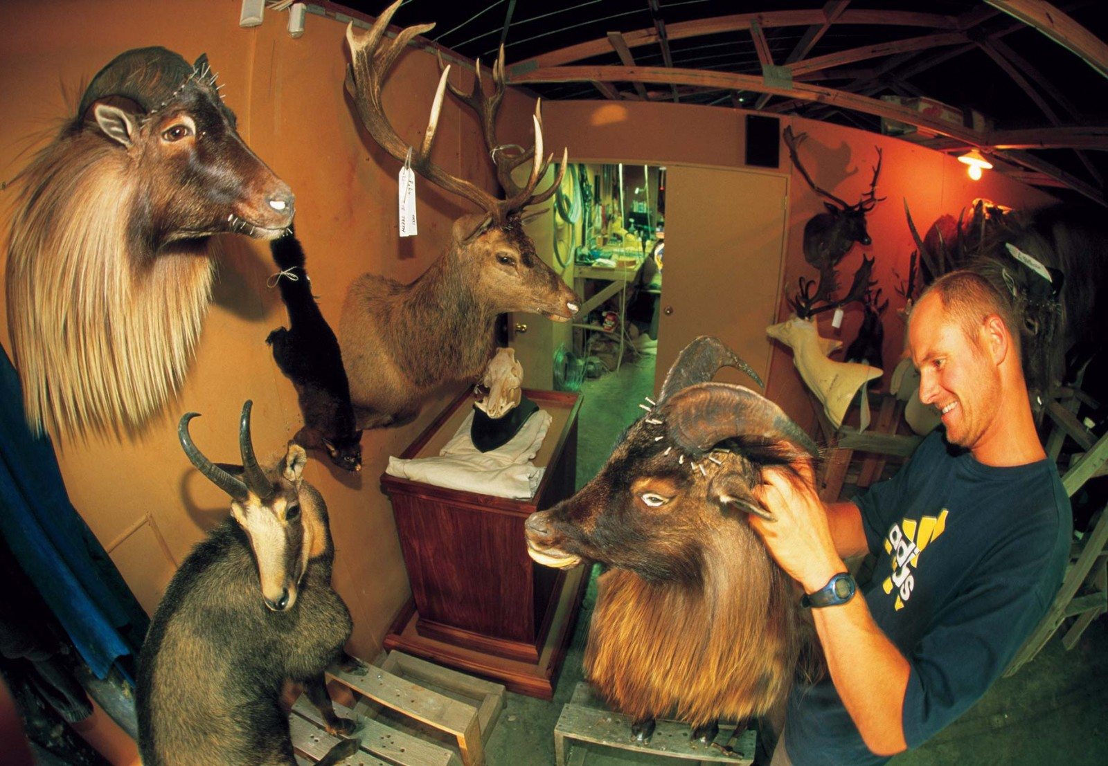 Here a South Canterybury taxidermist prepares heads from thar, chamois and red deer.