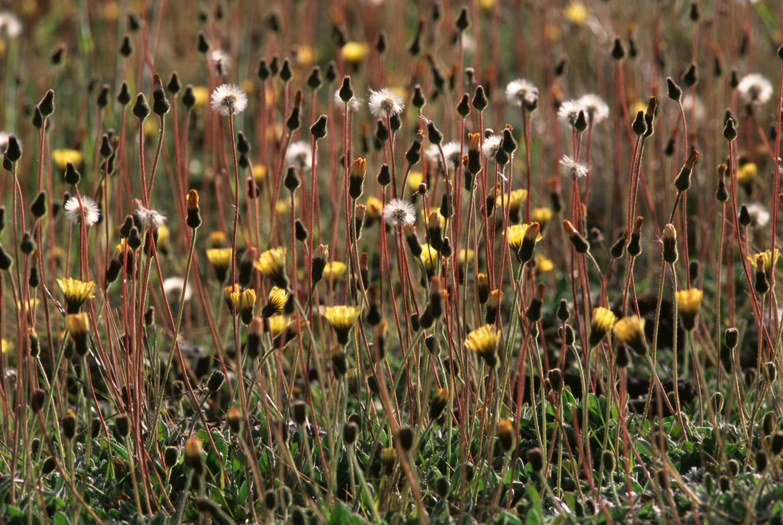 Intriguingly named mouse-ear hawkweed (Hieracium pilosella) is a serious weed that has now become established in places at Rangitaiki. Its floating seeds can travel for miles on the wind and establish new populations wherever they reach bare ground—yet another question mark over the future of the fragile frost flats.