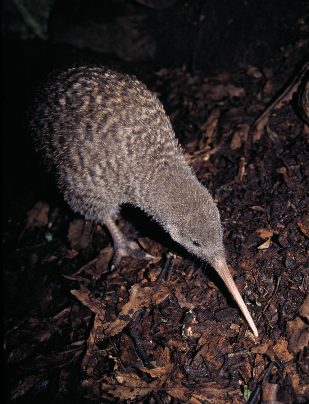 Great spotted kiwi are now found in the wetter coastal ranges of northern Westland and around the main divide north of Arthur's Pass.