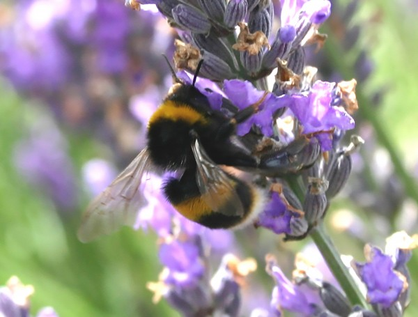 Despite the fact that lavender oil has insecticidal properties, insects such as bumble bees and cabbage white butterflies are drawn to the flowers for their nectar.