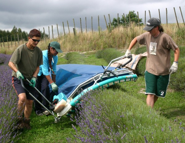 Harvesting the hummocky rows using a curved Japanese made tea harvester which is drawn by hand.