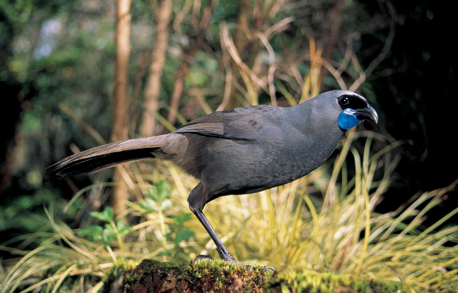 Kokako New Zealand Geographic